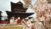 Cherry Tree in front of a Temple
