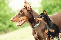 pinscher and doberman
