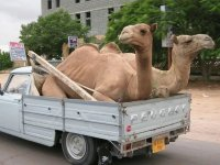 Camel transportation