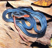 serpente corallo blu