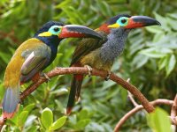 Toucans in Guyana