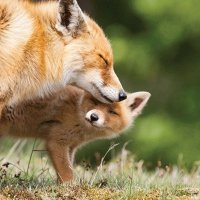 mother fox and baby fox