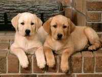 Double-Trouble-Labrador-Retrievers