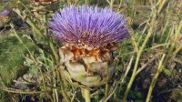 artichoke on iIona