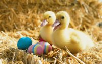Ducklings with Eggs
