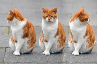 Red and White Cat Poses