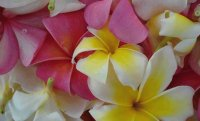 Plumeria  Hawaiian Islands
