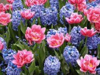 Pink Tulips and Hyacinths