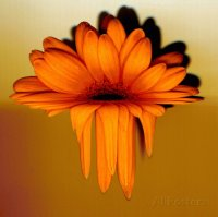 Melting Gerbera Flower
