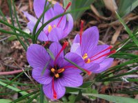 Purple Crocus  with Natural  Red Saffron