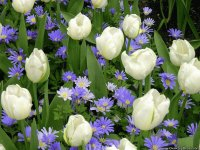 White Tulips and blue Gerbera 's