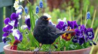 Blackbird in Springtime