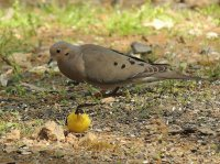 Dove and Goldfinch