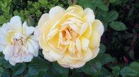 Mom 's Roses