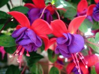 Beautiful Fuschia