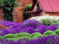 Lavender Farm Washington USA