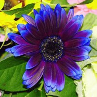 Purple blue Gerbera
