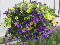 Hanging Basket of Mini Petunias