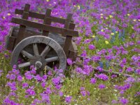 Wooden Cart in the field of Phlox  Texas
