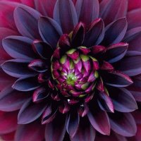 Black beauty Dahlia