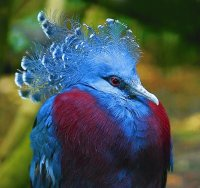 Blue Crowned Pigeon  Papua New Guinea
