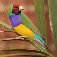 Male Gouldian Finch  Australia