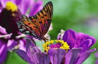 Butterfly on Vibrant Purple Flower