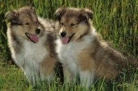 animaux: chiens colleys