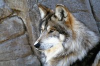 animaux: loup