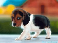 animaux: chien beagle