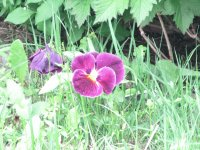 Pretty purple pansies