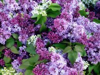 Fresh Cut Lilacs for Sale-New York City