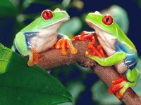 Red eye Frog pair  Central America
