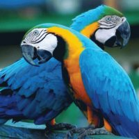 Blue and Gold Macaw Parrots  Costa Rica