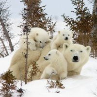 Mother and Cubs  Wapusk National Park  Manitoba