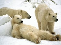 Polar Bears  Churchill  Manitoba  Canada