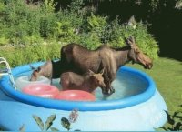 Moose in the Garden to cool off  Anchorage