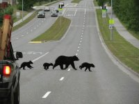 Black Bears crossing the street   Anchorage