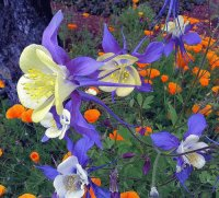 Columbines and Poppies