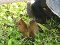 Baby red squirrel by husband 's foot