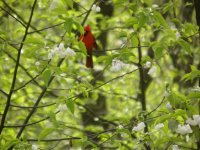 Cardinal in basswood tree