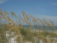 sea oats on Madeira Beach, Florida