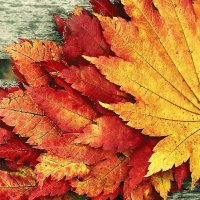 Fall Red and Gold Leaves