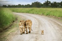 Lions with cub