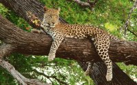 Beautiful Lounging Leopard