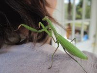 New Praying Mantis hairdo