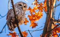 owl hangs out in autumn tree