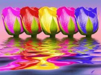Colored Tulips