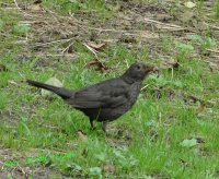 Black bird - female