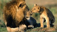 father-lion-and-his-son